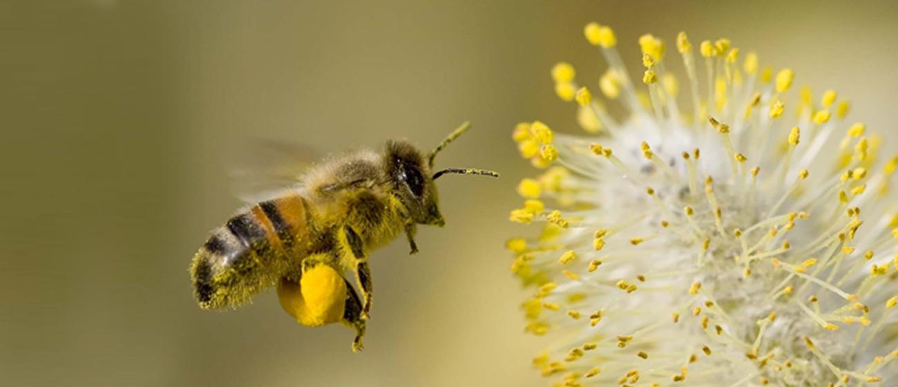 زنبور عسل میلا دانه